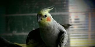 nimfy-piekne-i-pogodne-papugi-o-lagodnym-usposobieniu