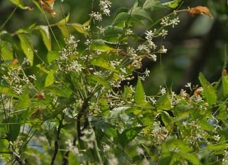 lecznicze-dzialanie-drzewa-neem