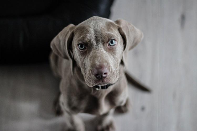 Dlaczego otwarte okno stanowi zagrożenie dla psów