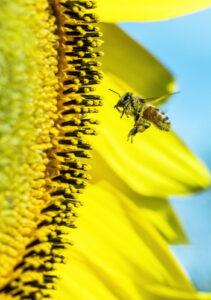 Co to jest pyłek pszczeli